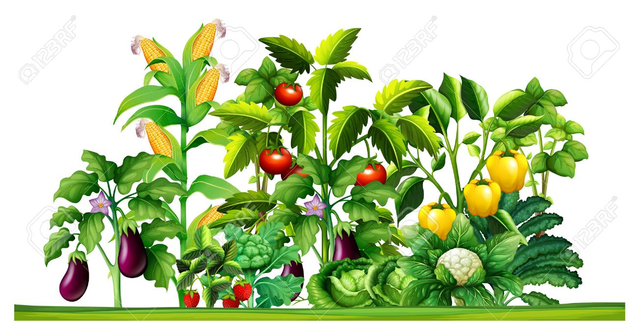 Vegetable Garden Drawing at GetDrawings.com | Free for ...