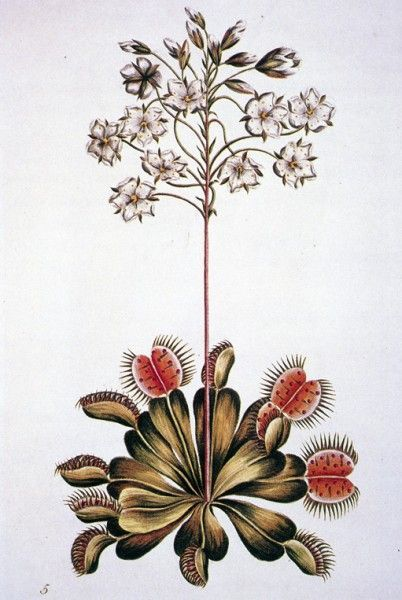 402x600 Early Botanical Drawing Of A Venus Flytrap, Dionaea Muscipula