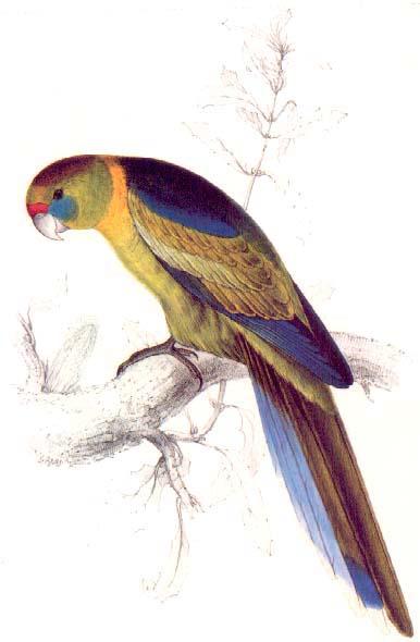 386x590 Edward Lear Barnard's Parakeet