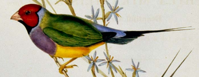 700x272 John Gould's Birds Of Australia