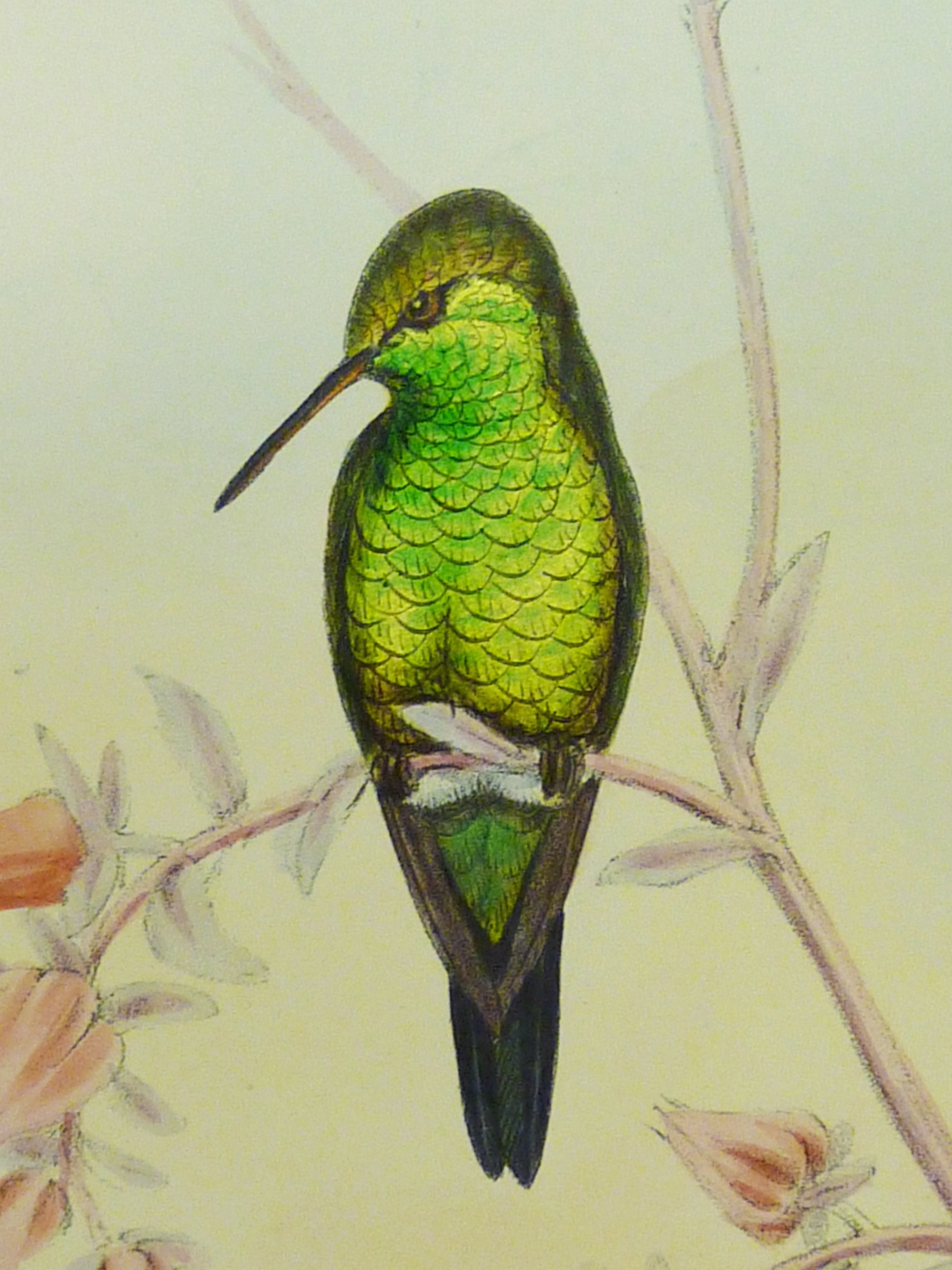 2736x3648 John Gould's Hummingbirds A Victorian Obsession Special