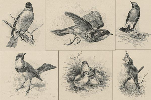 600x400 Victorian Engraved Bird Illustrations French Kiss Collections