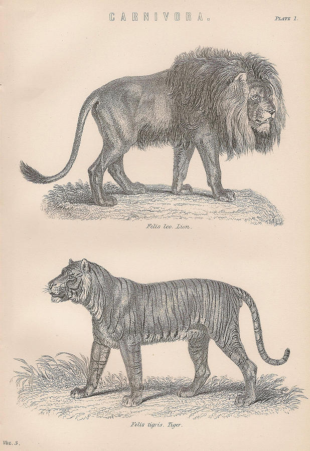 618x900 Carnivores Lion Tiger Drawing By Victorian Engraver