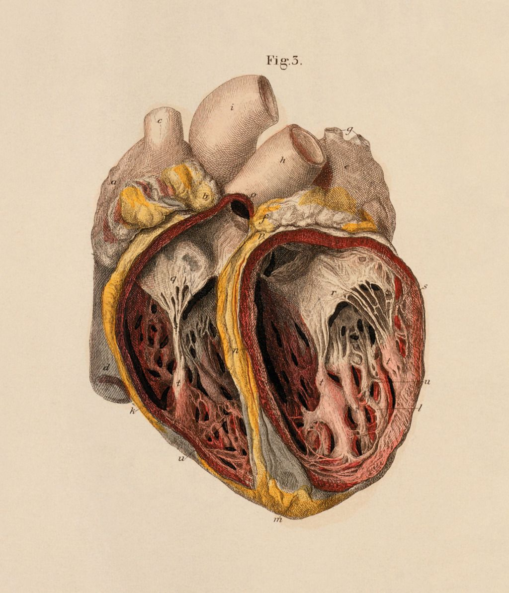 1024x1193 Vintage Anatomical Heart Drawing Vah10 Art