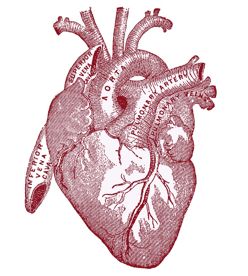 Vintage Anatomical Heart Drawing At Getdrawings Free For