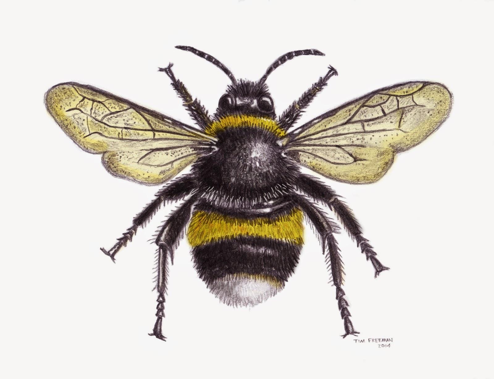 1600x1228 Tim Freeman Design Amp Illustration Bumble Bee Graphics
