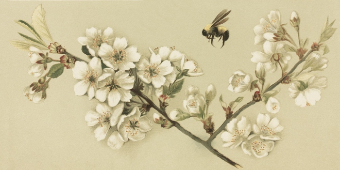 700x351 Vintage Drawing Of A Honey Bee And Cherry Blossoms