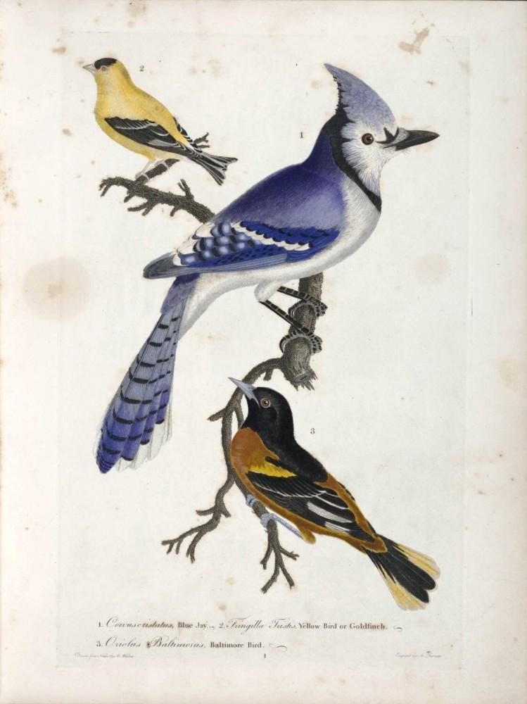 749x1000 Animal Bird Blue Jay Baltimore Oriole Blue Jay Vintage