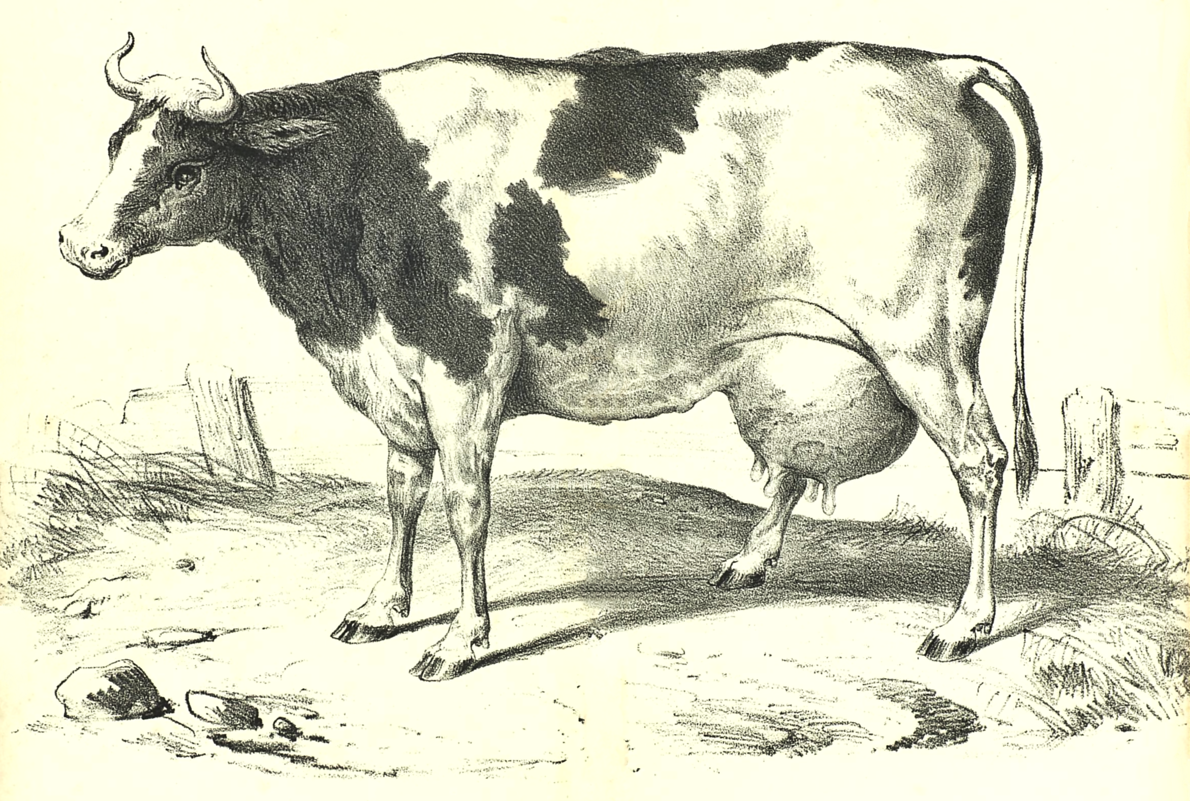 2342x1576 Sweet Vintage Milk Cow Drawing From 1857 And Shared By Reusable Art
