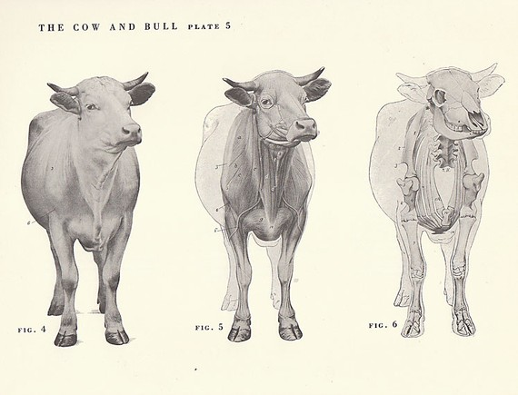570x435 Vintage Cow And Bull Front Skeletal View Illustration Book Page