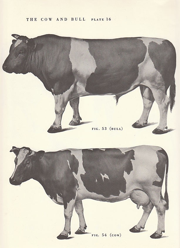 613x842 Vintage Cow And Bull Side View Illustration Book Page. $8.00, Via