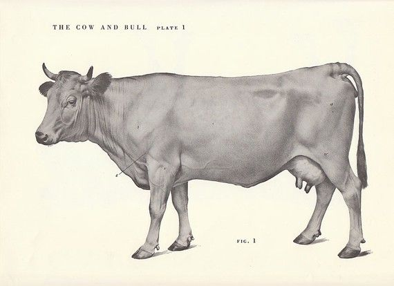 570x414 Vintage Cow And Bull Side View Illustration Book By Niminsshop