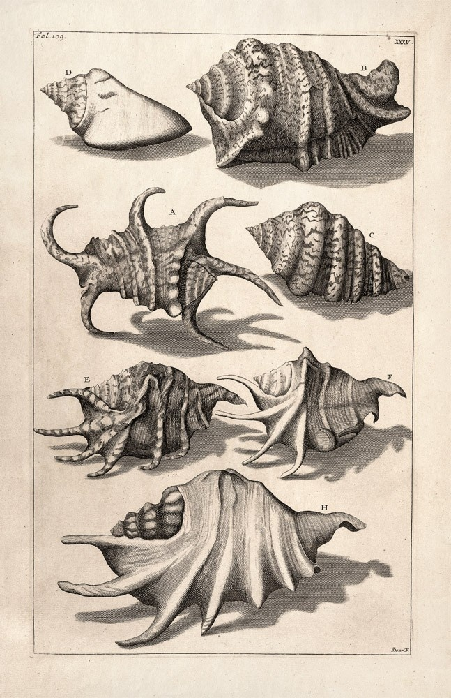 647x1000 Black And White Vintage Shell Drawings Shells Ideas