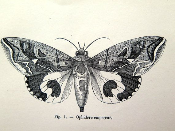570x428 1860 Antique Moths Butterflies Print, Original Vintage Moth Plate