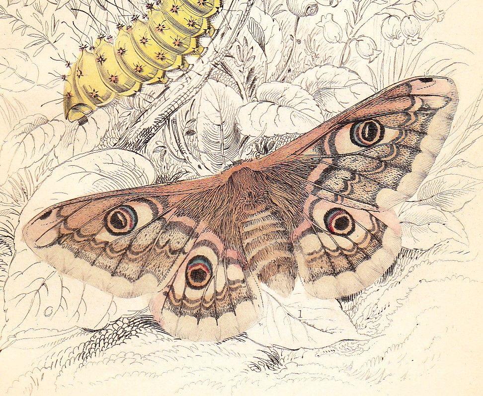 972x798 Antique Art Engraving Emperor Moth, Caterpillar, Oak Egger Moth