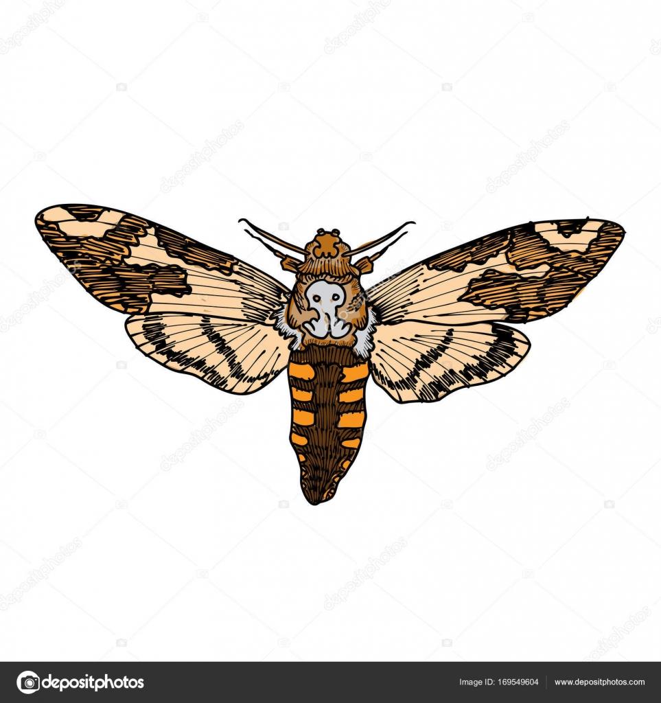 963x1024 Death's Head Hawk Moth Stock Vector Goldenshrimp