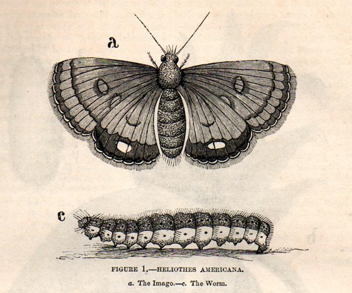 715x596 The Vintage Moth Free Vintage Clip Art Moth Entomologia