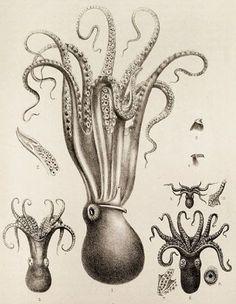 236x304 Vintage Octopus Image