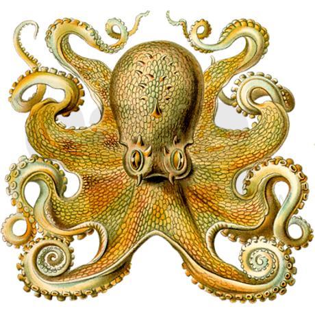 460x460 Vintage Octopus Cephalopod Scientific Drawing Cork Draw, Tatting