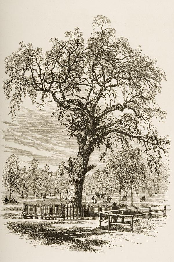 600x900 Boston Massachusetts, The Liberty Tree Drawing By Vintage Design Pics