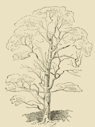 386x515 Vintage Tall Tree Drawing And Sketch. Eclectic Color Me