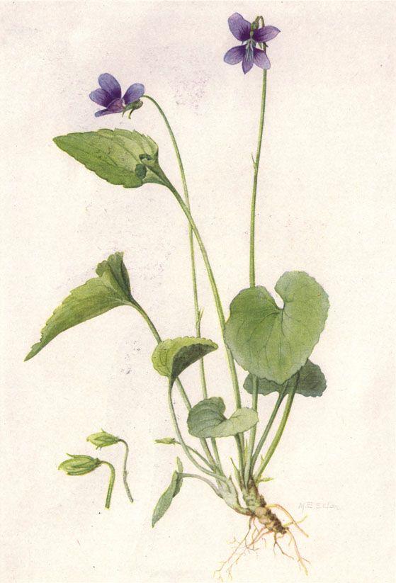 559x823 Mary Eaton. Botanical Violet Illustration. Botanical