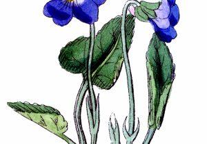 300x210 Violet Flower Drawing