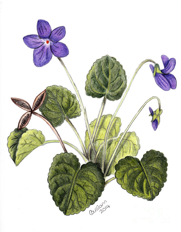702x900 Violets Drawing By Carol Doran