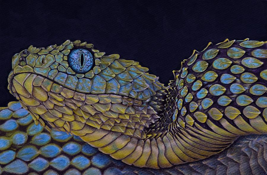 900x589 Bush Viper Drawing By Biophilic Art