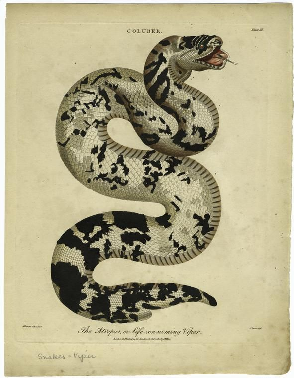 591x760 The Atropos, Or Life Consuming Viper. From New York Public Library