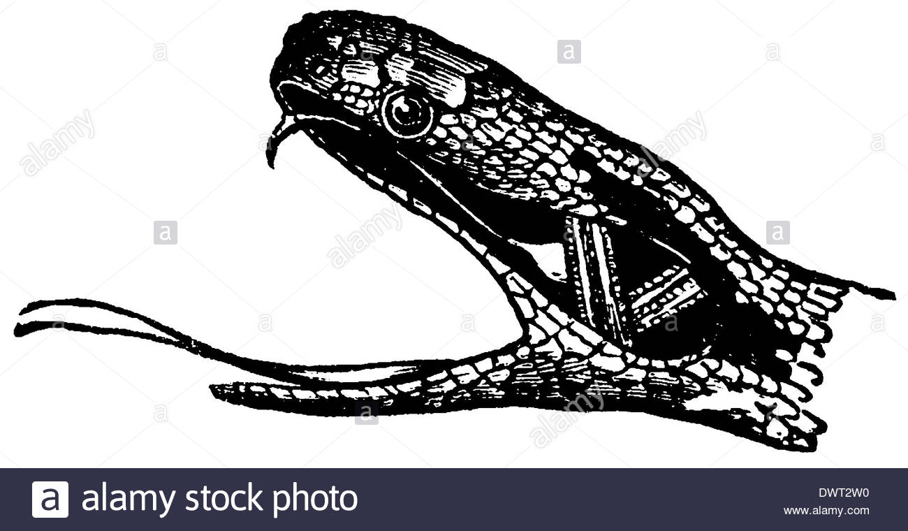 1300x760 Adder, Common Viper Head Stock Photo, Royalty Free Image
