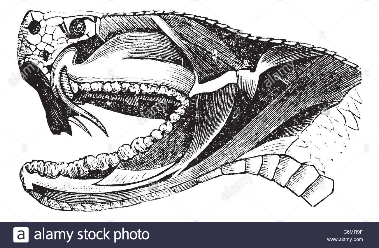1300x850 Viper Snake Head, Vintage Engraving. Old Engraved Illustration