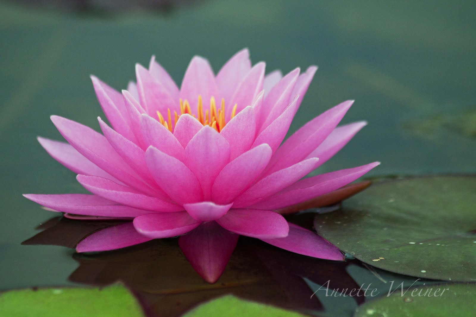 Water lily flower drawing at getdrawings free for personal use 1600x1067 pink water lily izmirmasajfo