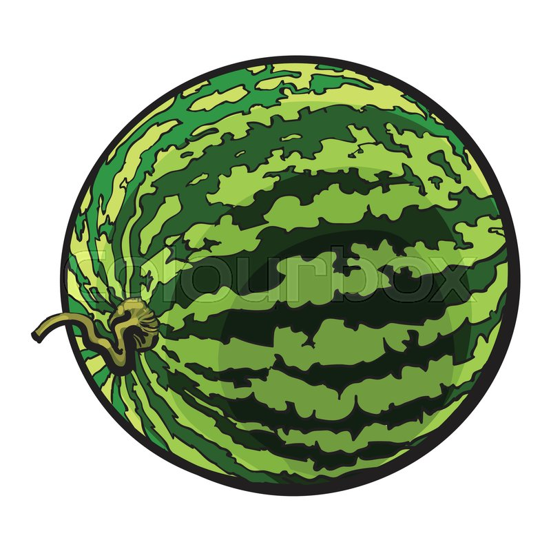 800x800 Perfect Whole Striped Watermelon With Curled Up Tail, Sketch Style