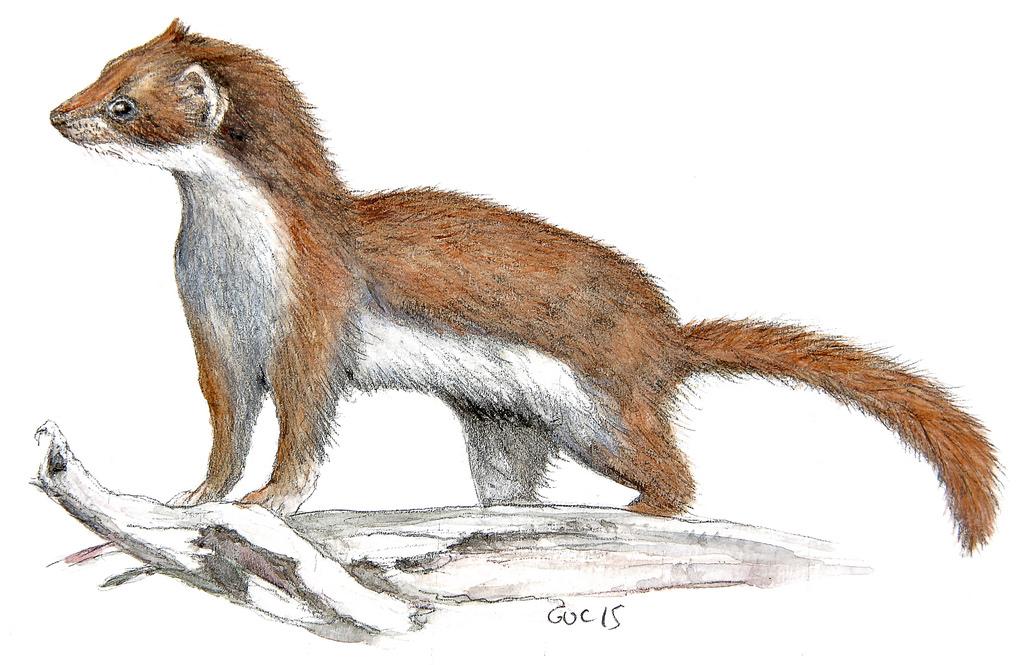 1024x665 Weasel (Side) (Watercolor) Guc92
