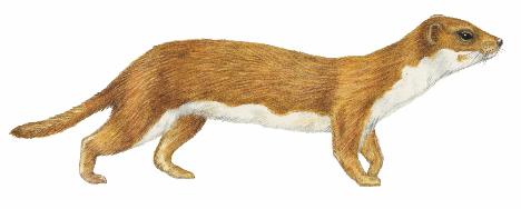 468x188 Cornwallmammalgroup Weasel