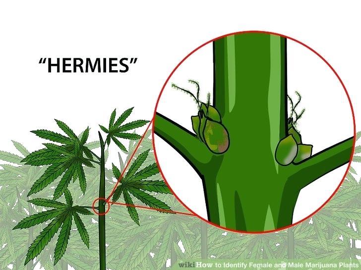 728x546 Weed The Plant Image Titled Identify Female And Male Marijuana