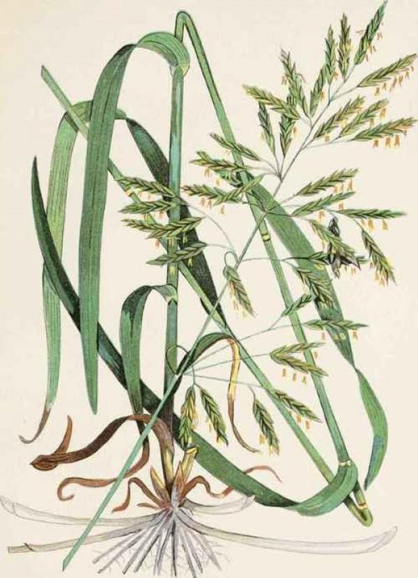 600x829 Wild Grasses, Beautiful Weeds, Botanic Illustration, Design Squish