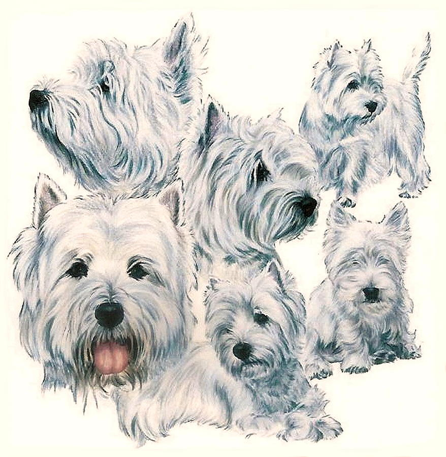 878x900 West Highland White Terrier Drawing By Barbara Keith