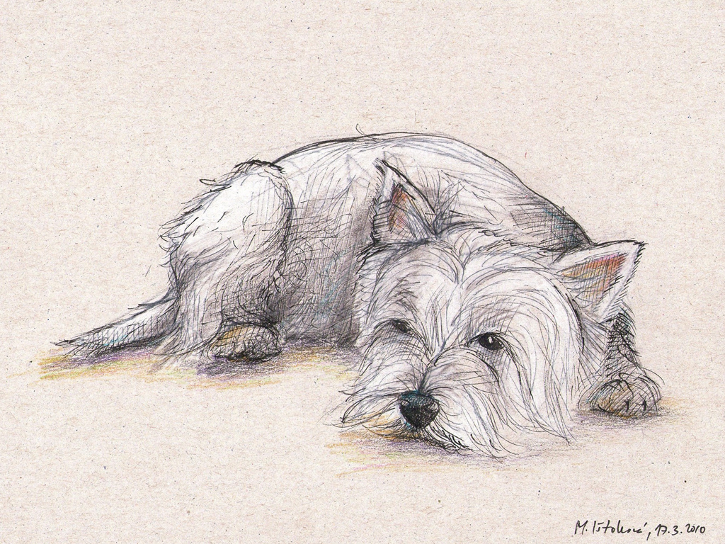 1024x768 Westhighland White Terrier Illustration The Daily Doodles