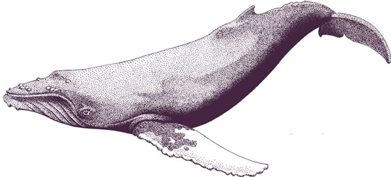 555x252 Whale Drawings Humpback Whale Drawing Whales Amp Dolphinampsharks