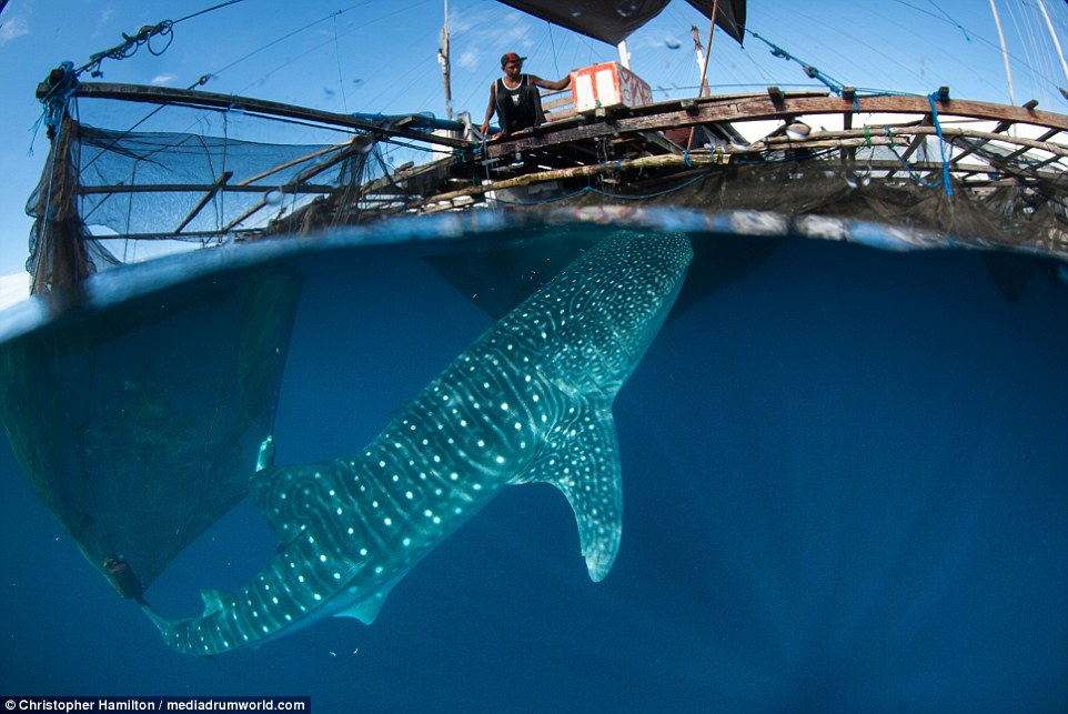 962x643 Incredible Photos Show Gentle Whale Sharks Swimming Alongside