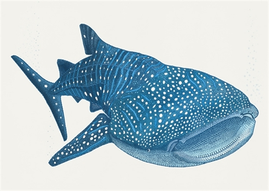 550x392 Picture Of Whale Shark Just Posters Whale Sharks