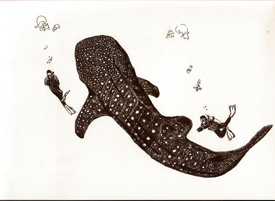 900x659 Whaleshark Drawing By Sheryl Brandes