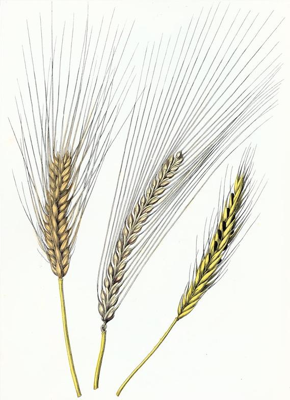 569x784 Bere, Barley Amp Rye Drawing