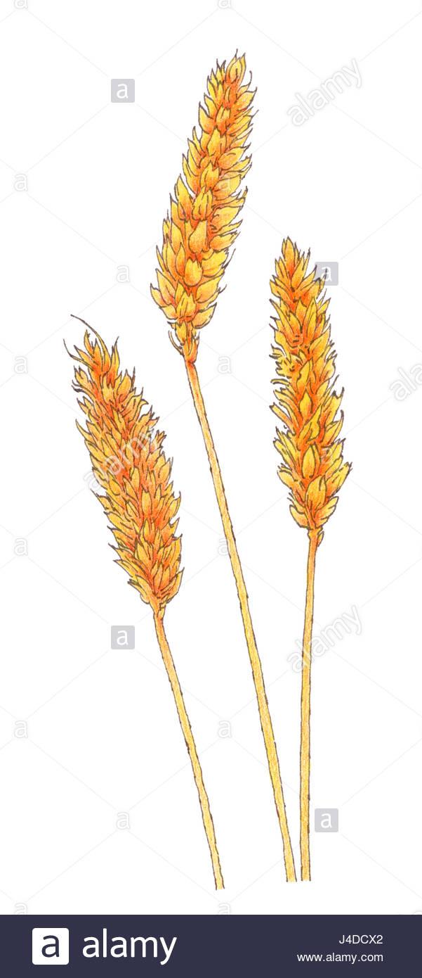 601x1390 Ears Of Common Wheat (Triticum Aestivum) Botanical Drawing. Brown