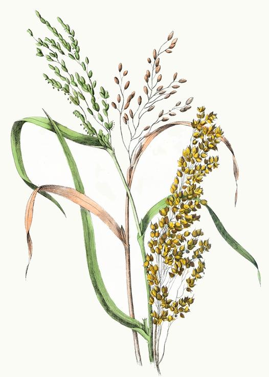 526x737 Rice Amp Millet Drawing
