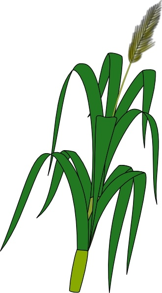 330x597 Wheat Plant Food Clip Art Free Vector In Open Office Drawing Svg