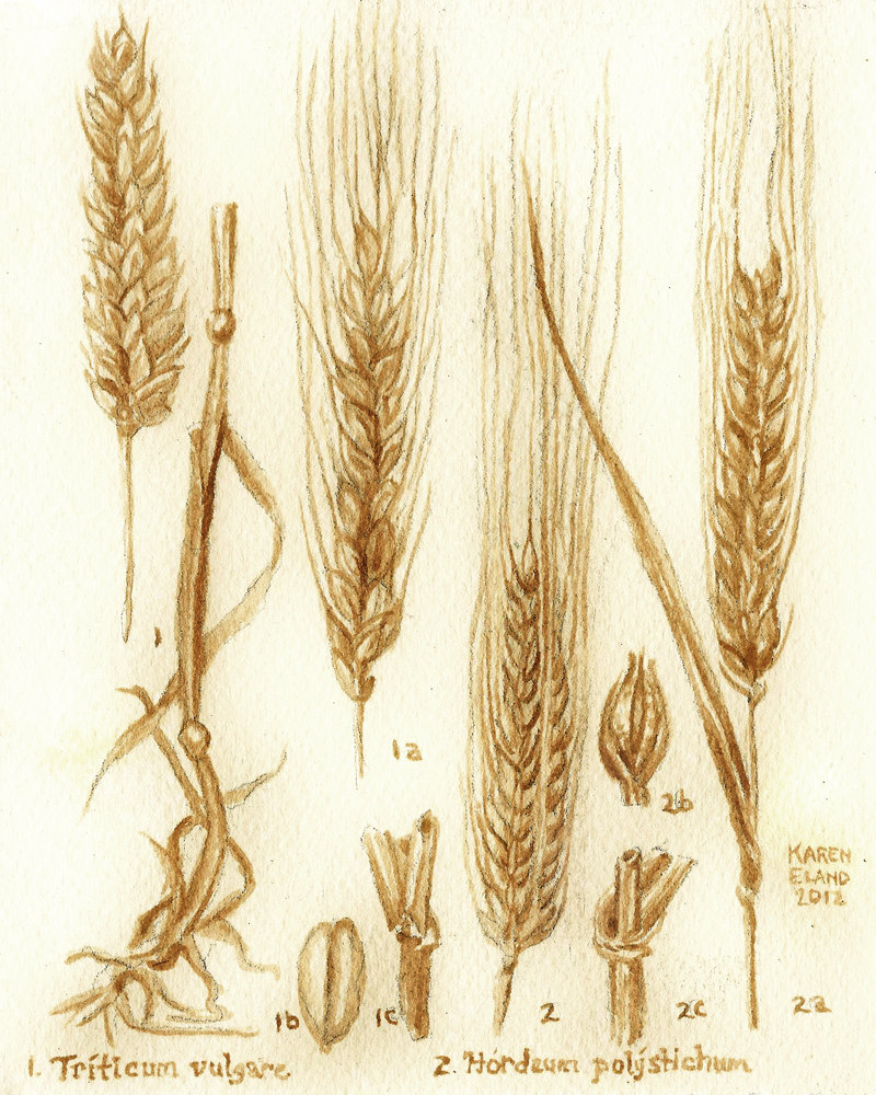 800x1000 Beer Art Barley And Wheat Botanical Drawing Painted Using