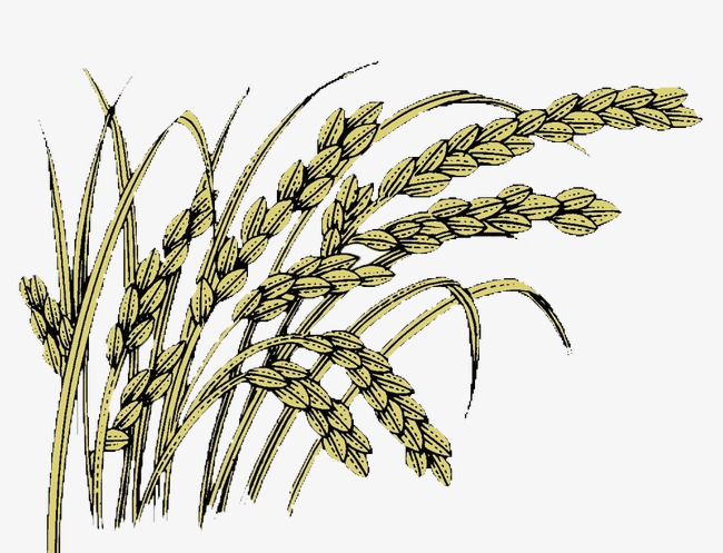 650x497 Paddy, Rice, Line Drawing Png Image And Clipart For Free Download